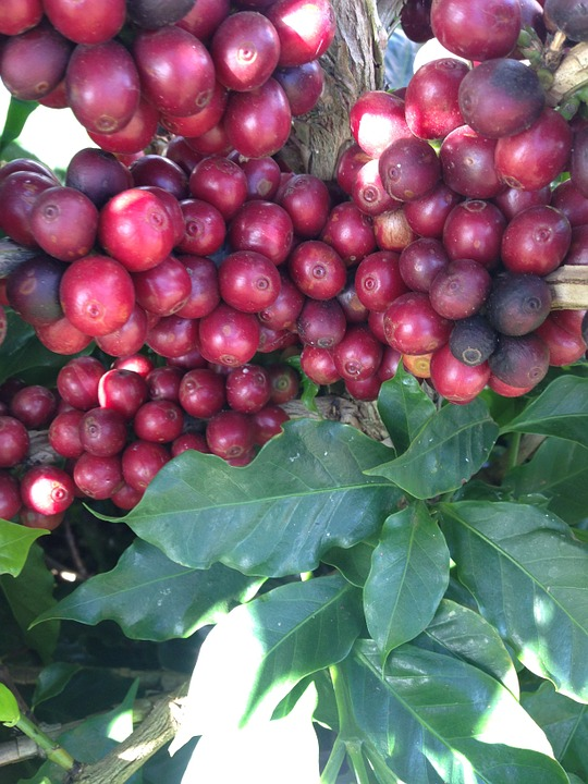 coffee beans cherry