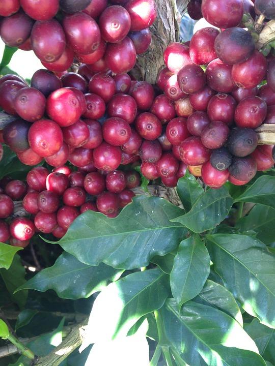 coffee beans cherry