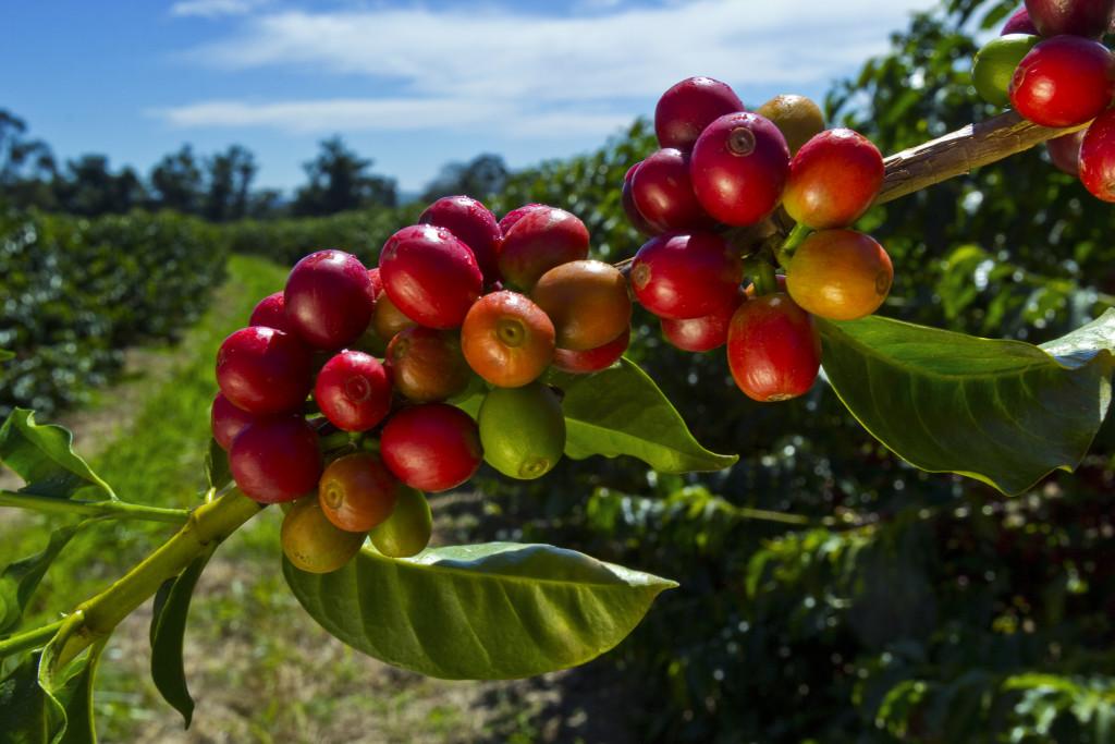 Coffee berries beans growing